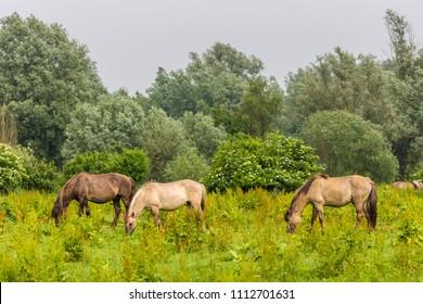 wild konik horses grazing in Dutch Oostvaardersplassen nature reserve