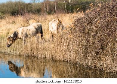 Wild Konik ponies on the banks of Burwell Lode waterway on Wicken Fen nature reserve, Cambridgeshire; England; UK - Shutterstock ID 1611153010