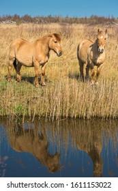 Wild Konik ponies on the banks of Burwell Lode waterway on Wicken Fen nature reserve, Cambridgeshire; England; UK - Shutterstock ID 1611153022
