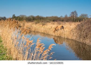 Wild Konik ponies on the banks of Burwell Lode waterway on Wicken Fen nature reserve, Cambridgeshire; England; UK - Shutterstock ID 1611153031