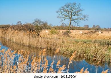 Wild Konik ponies on the banks of Burwell Lode waterway on Wicken Fen nature reserve, Cambridgeshire; England; UK - Shutterstock ID 1611153064
