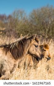 Wild Konik ponies on the banks of Burwell Lode waterway on Wicken Fen nature reserve, Cambridgeshire; England; UK - Shutterstock ID 1611967165