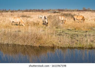 Wild Konik ponies on the banks of Burwell Lode waterway on Wicken Fen nature reserve, Cambridgeshire; England; UK - Shutterstock ID 1611967198