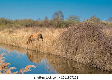 Wild Konik ponies on the banks of Burwell Lode waterway on Wicken Fen nature reserve, Cambridgeshire; England; UK - Shutterstock ID 1611967201