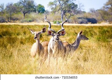 Wild Kudu, Okavango Delta, Botswana, Africa
