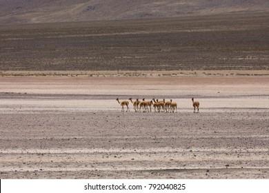 wild lama Vigogna in the Andes, Peru