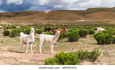 Wild lamas grazing in Bolivia