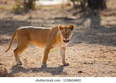 Wild large lion walks in Serengeti Africa