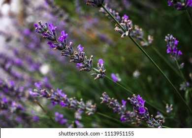 Wild lavender in Croatia, floral background