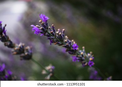 Wild lavender flowers in Croatia, floral background