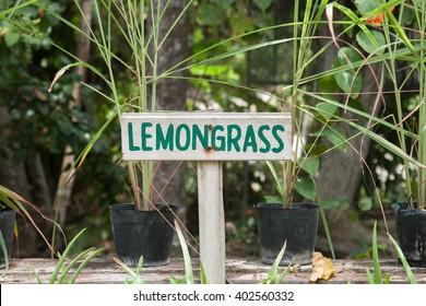 Wild lemongrass growing in a garden. Lemongrass sign.