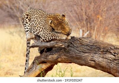 Wild Leopard in african bush, Namibia