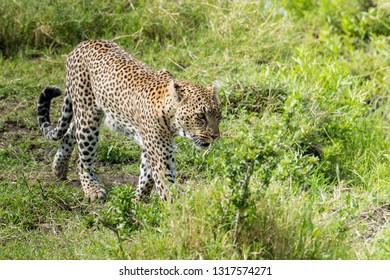 Wild leopard hunting