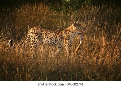 Wild leopard, Panthera pardus, leopardess with prey in vivid morning savanna. Leopard carrying leg of antelope in jaw.  Wildlife photography in South Africa. Kruger park.