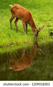 wild life in green fields bambi and deer