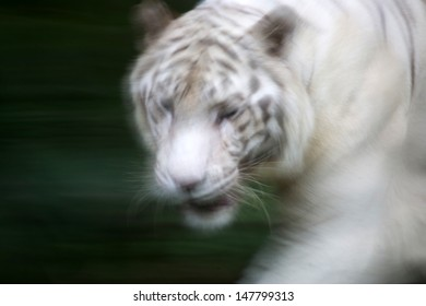 A wild life shot of a white tiger in captivity