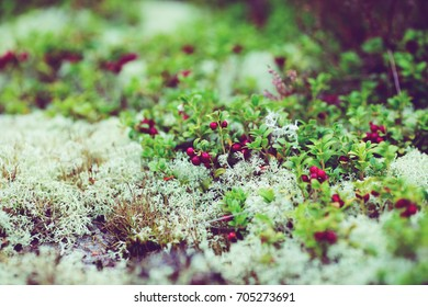 wild lingonberry growing in moss in swedish forest. autumn uncultivated harvest