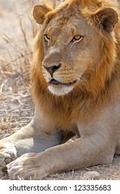 Wild lion in the African Savannah, Tanzania