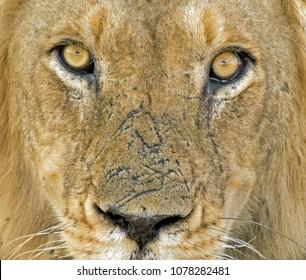 Wild lion Portrait