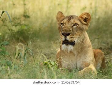 Wild lion sitting in a den