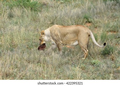 Wild Lioness with prey in his mouth, Namibia, Africa