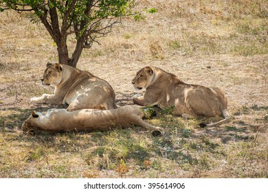 Wild lionesses under the tree.