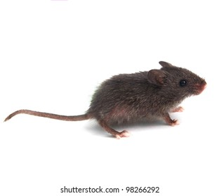 wild little gray mouse on white background