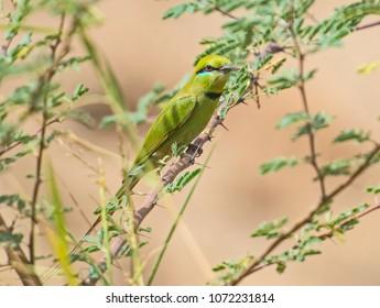 Wild Little Green Bee-eater bird merops orientalis perched on a branch in bush