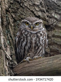A Wild little owl in a British woodland, uk birds wildlife, perched on tree