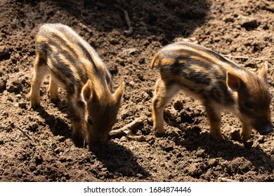 Wild little pigs in the wild