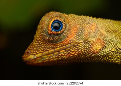 Wild lizard at tropical forest in Pahang, Malaysia