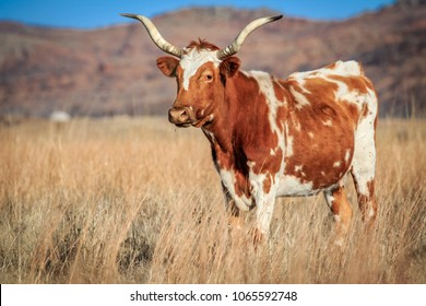 A wild longhorn (Bos taurus) cow on the prairie in the Wichita Mountains Wildlife Refuge of SW Oklahoma