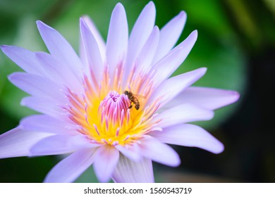 Wild lotus blossom with bee on pink, purple and white flowers in pond
