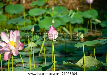Wild Lotus Flowers That Grow Lake Stock Photo Edit Now 710264041