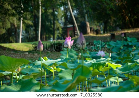 Wild Lotus Flowers That Grow Lake Stock Photo Edit Now 710325580
