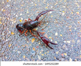 Wild Louisiana crawfish walking on the ground along street after rain, Procambarus clarkii is a species of cambarid freshwater, A red swamp crawfish in its natural habitat.