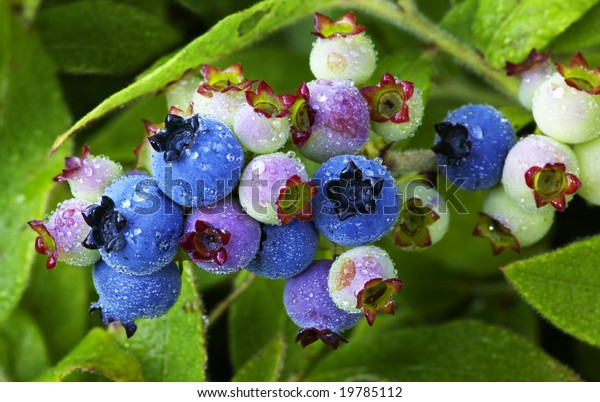 Wild lowbush blueberries in various stages of ripening, still on the plant, covered with cool, fresh raindrops.