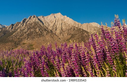 Wild lupine in front of the Sierra Nevada Mountains