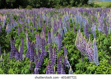 Wild lupins on the roadside