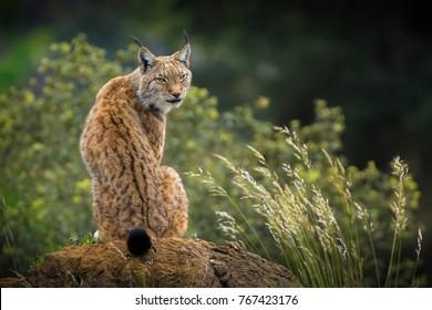 Wild Lynx portrait