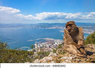 A wild macaque or Gibraltar monkey, one of the most famous attractions of the British overseas territory. Apes' Den in the Upper Rock Natural Reserve in Gibraltar Rock.