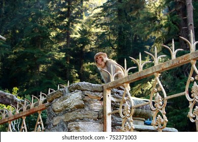 Wild macaque monkey sitting on stone fence ans looking at camerain himalayan mountain jungle (forest).