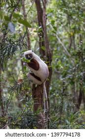 A wild Madagascar Sifaka lemur