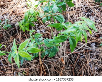 Wild madder plant, Rubia peregrina, growing in Galicia, Spain