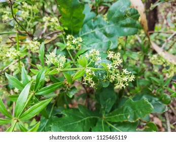 Wild madder, Rubia peregrina, growing in Galicia, Spain