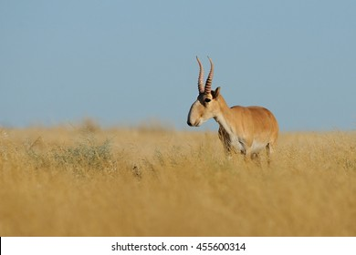 Wild mail Saiga antelope (Saiga tatarica) in morning steppe. Federal nature reserve Mekletinskii, Kalmykia, Russia, August, 2015