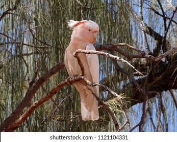 Wild Major Mitchell's cockatoo, pink cockatoo, Northern territory, Australia