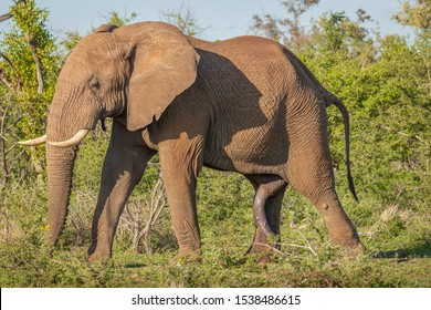 A wild male bush elephant ( Loxodonta Africana) showing his dominance, a bull with ears spread and a big penis, Madikwe Game Reserve, South Africa.