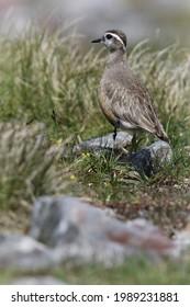 Wild Male Dotterel (Charadrius morinellus) on a Scottish Mountain Plain