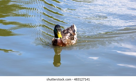 Wild male duck swimming on the pond